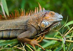 Reptile expo horoscope: Scorpio - iguana