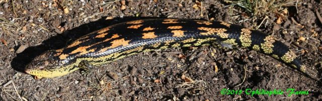 Blotched blue tongue skink subspecies - ReptiFiles