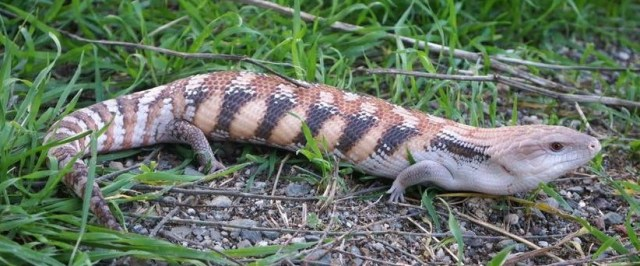 Northern blue tongue skink subspecies - ReptiFiles