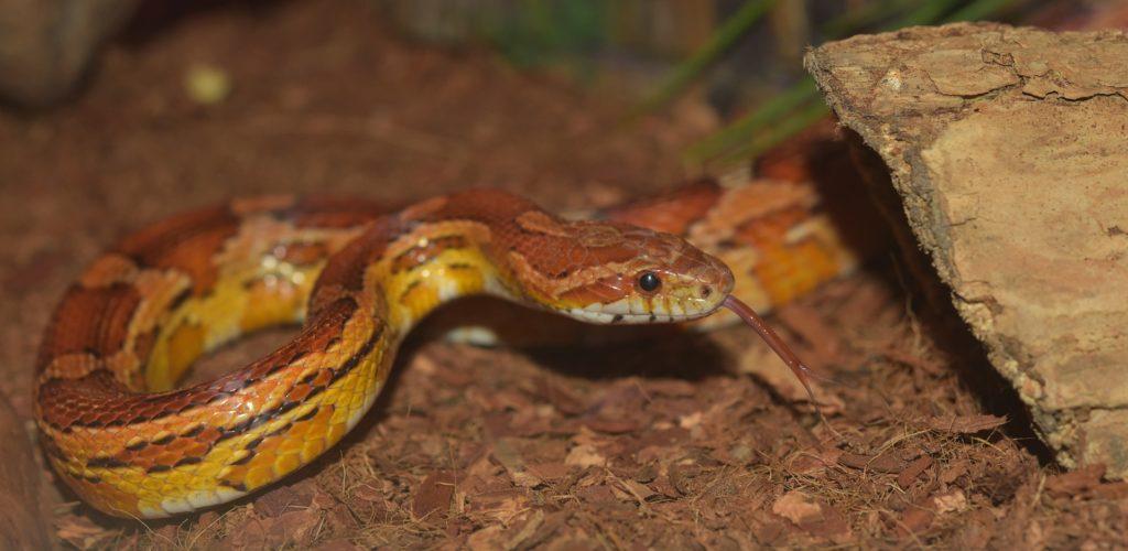 Corn snake substrate options - coconut husk