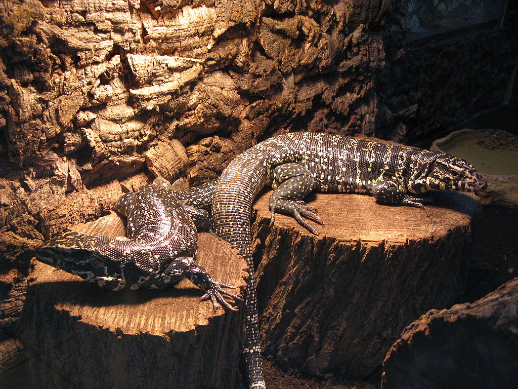 Tegu Enclosure Size Guidelines Reptifiles Tegu Care Guide Cvs.com® is not available to customers or patients who are located outside of the united states or u.s. tegu enclosure size guidelines