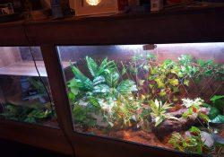 Blue tongue skink terrarium ideas - loz manning - northern