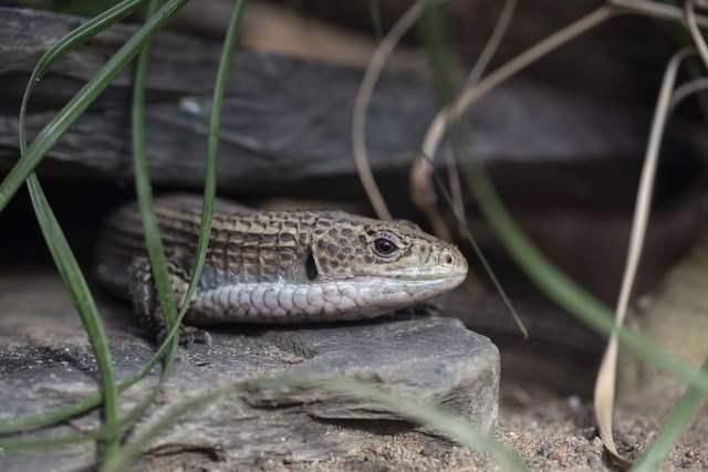sudan plated lizard habitat - zoo