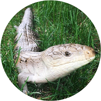 blue tongue skink homepage feature 200x200