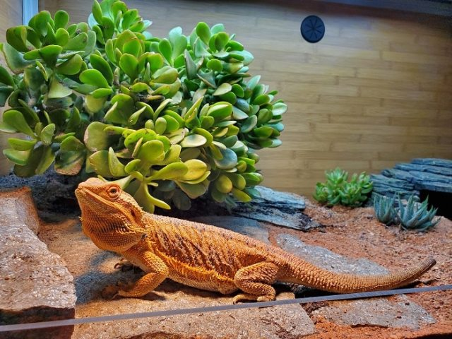 bearded dragon with australian desert dragon habitat substrate