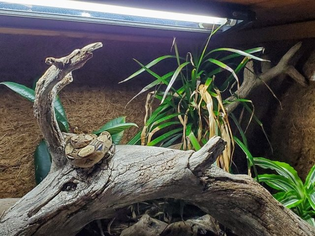 reptiles need UVB light - this basking Boa imperator, for example