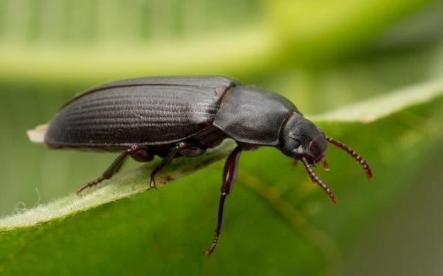 Mealworm darkling beetle (Tenebrio molitor) - bioactive terrarium bugs