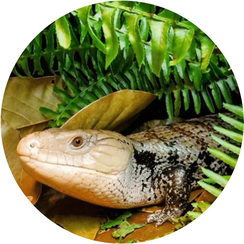 blue tongue skink care - icon