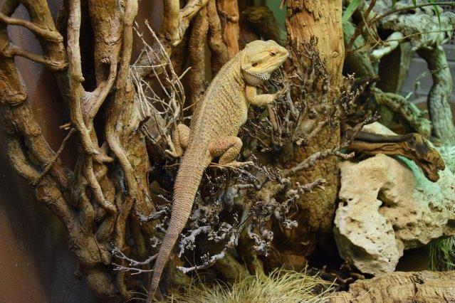 bearded dragon climbing branch