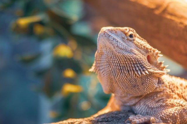 bearded dragon lighting UVB