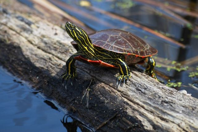painted turtle care sheet image