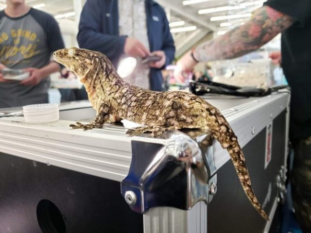 Leachie gecko @ Inked Up Reptiles. Photo by Vanessa Pegoretti.