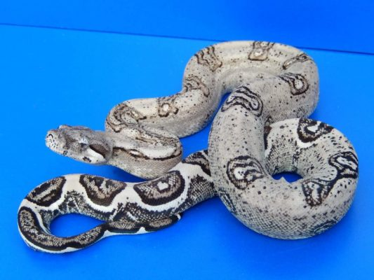 Boa constrictor morphs - anery type 2 jungle - imperator - phil calvert
