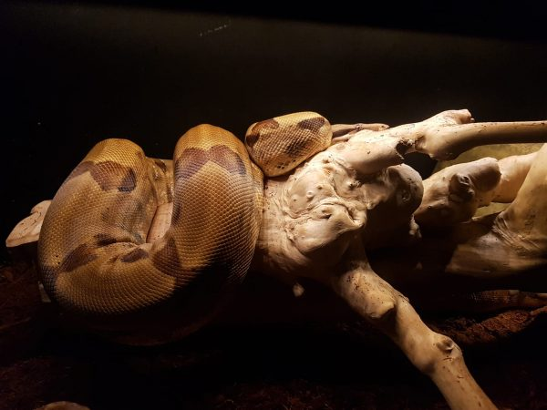 Boa Temperature Guidelines - boa basking on a branch