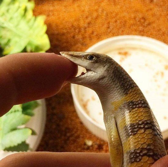 Scincus scincus sandfish bite - Sandfish Handling & Behaviors