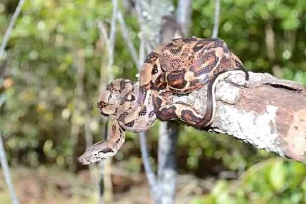 Boa species - boa imperator - El Salvadorean boa