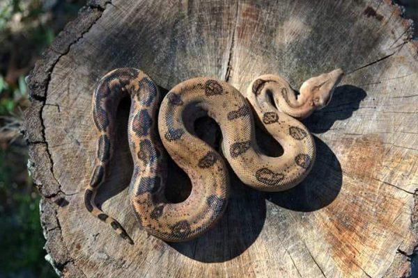 Boa constrictor morphs - enigma morph el salvador bci - ras scott