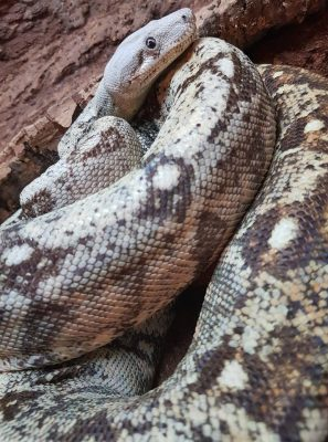 Boa species - boa imperator - Hog Island boa