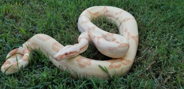 Boa constrictor morphs - kahl albino sunglow - justin collins