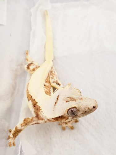 Lilly White crested gecko @ Bertopia Geckos. Photo by Mariah Healey.