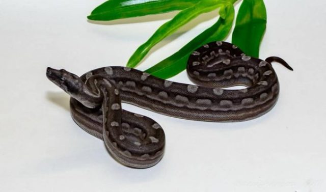 Boa constrictor morphs - motley bco argentine boa, het T+ - samantha demarco, photo by buddy young