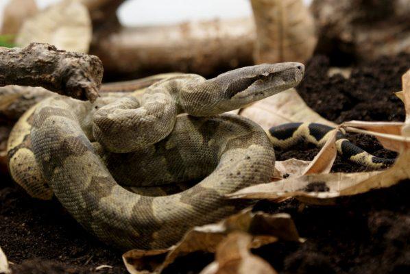 Boa constrictor subspecies - nebulosa - Sebastian Holch