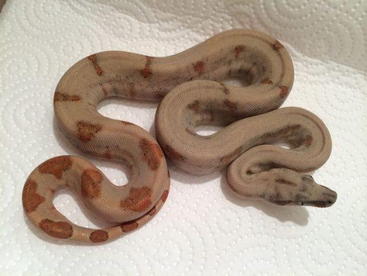 Boa constrictor subspecies - newborn sabogae - Sebastian Holch