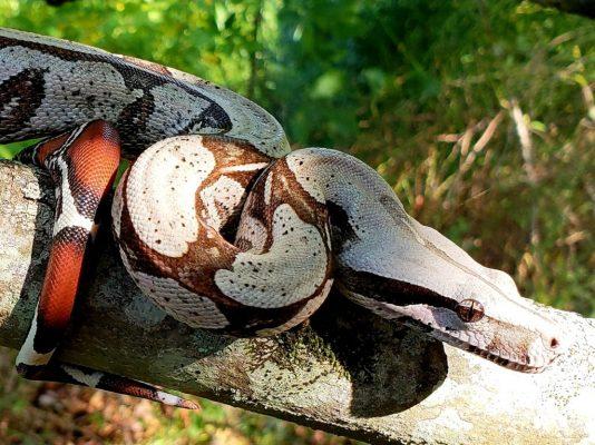 Boa constrictor subspecies - pokigron suriname bcc - seth zelenik-