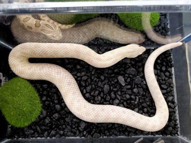Snow conda morph hognose snake