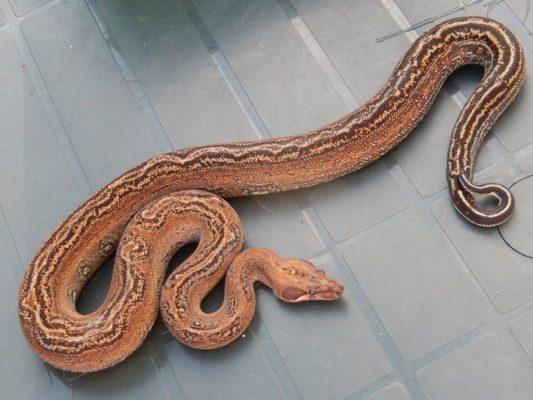 Boa constrictor subspecies - sonoran imperator - calvert reptiles