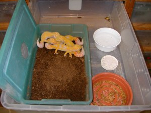 Leopard Gecko Breeding Group