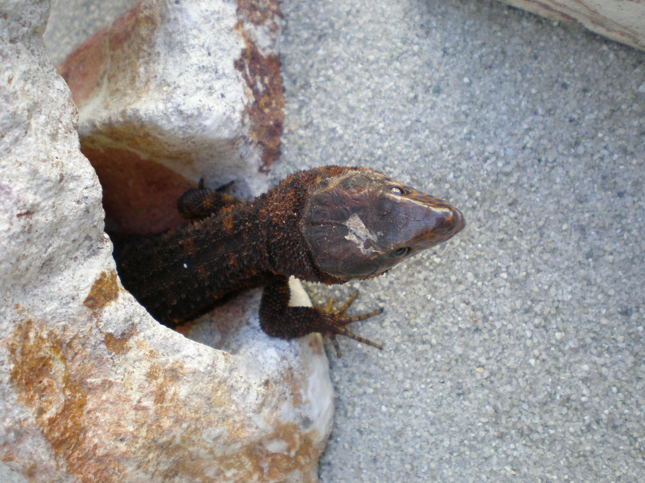 yellow spotted lizards are real reptile apartment. Black Bedroom Furniture Sets. Home Design Ideas