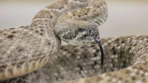 Venomous rattlesnake