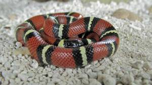 Conant's Milksnake from west-central Mexico is from an area where temperatures rarely drop below 65.