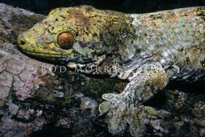 Vorax gecko
