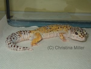 Would you have noticed the subtle early signs of NSHP in this Leopard Gecko (Eublepharis macularius)? The owners certainly didn't.