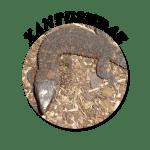 Xantusiidae-Circle