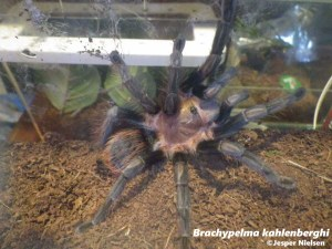 new mexican tarantula
