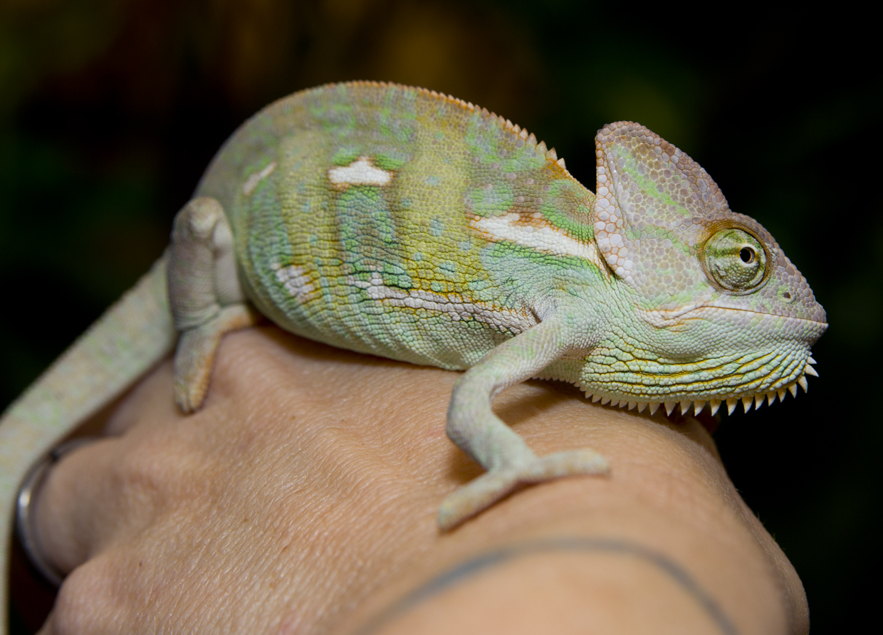 Uncategorized Picture Of Chameleon think you want a chameleon courtesy of the farm