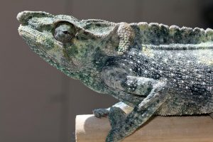 Sunken Eyed Chameleon