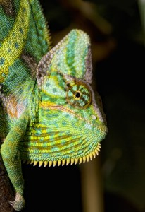 Veiled Chameleon Casque