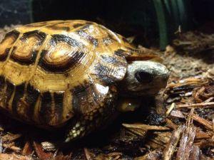 Pyxis arachnoides James Badman Tortoise Pic
