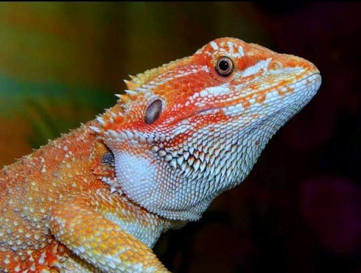 Central bearded dragon - Crystal