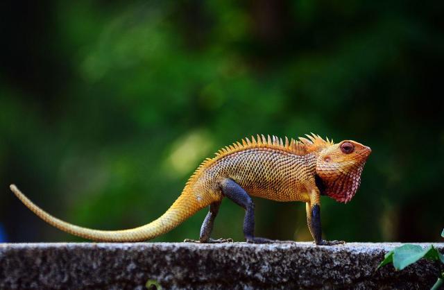 Halloween Week Top 10 Bloodsucker Lizard Calotes Versicolor Facts