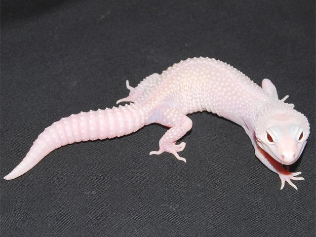 10 Leopard Gecko Morphs - Stunning Oranges, Whites, and more!
