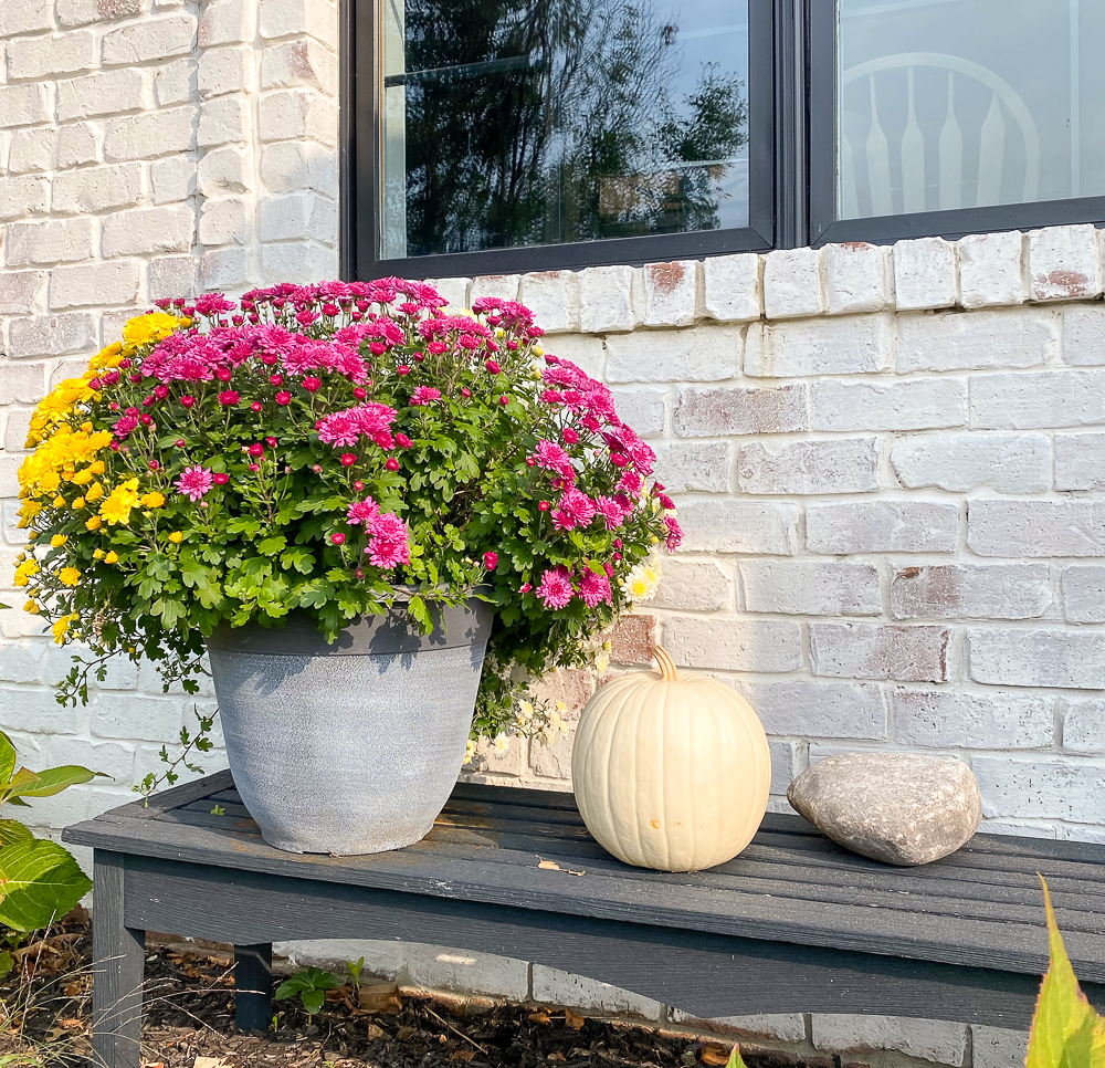 mums in a planter on a black bench