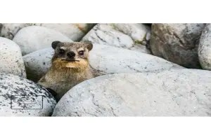 A dassie card linking to Etsy store  to buy