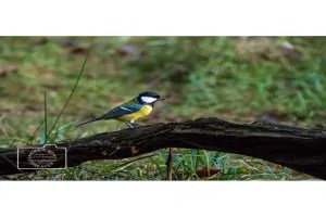 A great tit greetings card linking to Etsy store to buy