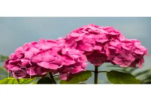 pink hydrangea flowers greetings card linking to Etsy store to buy