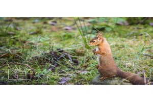 A red squirrel card linking to Etsy store to buy